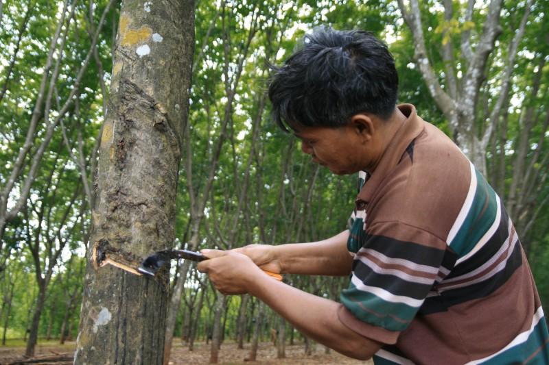 Gummibaum-Plantage in Thailand